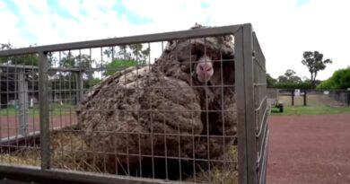 Ta owca wzbudziła sensacje w mediach! Musiała nosić 35 kg wełny. [WIDEO]